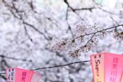 【世界各地賞櫻花】日本東京目黑川兩岸的櫻花正在盛開。(新華社,攝於2019年4月3日)