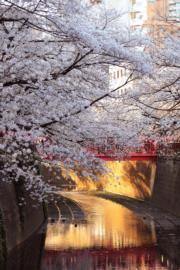 【世界各地賞櫻花】日本東京目黑川兩岸的櫻花正在盛開,晚上在燈籠的點綴下更迷人。(新華社,攝於2019年4月3日)