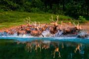 【世界遺產:黃(渤)海候鳥棲息地(第一期)】麋鹿在江蘇鹽城大豐麋鹿國家級自然保護區內奔跑。(中新社)