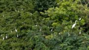 【世界遺產:黃(渤)海候鳥棲息地(第一期)】在江蘇鹽城大豐麋鹿國家級自然保護區,一群白鷺在樹上棲息。圖片攝於2019年6月26日。(新華社)