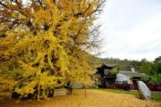 2019年11月11日,西安羅漢洞村古觀音禪寺內的千年銀杏樹(新華社)