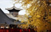 2019年11月11日,西安南山古觀音禪寺內的千年銀杏樹(新華社)