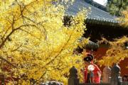 2019年11月11日,北京大覺寺內的千年古銀杏樹(新華社)