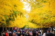 2019年10月25日,瀋陽遼寧大學內的銀杏樹(中新社)