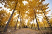 2019年10月31日,河北沙河市位於太行山東麓的銀杏林(新華社)