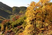 2018年11月29日,福建武夷山市上梅鄉的銀杏樹與楓樹。(新華社)