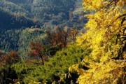 2018年11月29日,福建武夷山層林盡染,美不勝收。圖為武夷山市上梅鄉的銀杏樹與楓樹。(新華社)