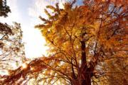 2018年11月28日,福建武夷山市吳屯鄉的銀杏樹。(新華社)
