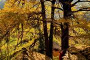 2018年11月29日,福建武夷山市上梅鄉的銀杏樹。(新華社)