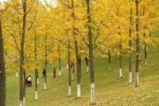 2018年11月14日,重慶中央公園的銀杏樹染上金黃。(中新社)