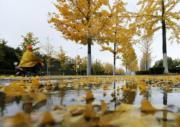 2018年11月6日,山東省臨沂市郯城縣,銀杏葉在雨中飄落。(新華社)