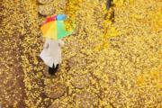 2018年11月5日,山東省臨沂市郯城縣重坊鎮中華銀杏園景區(新華社)