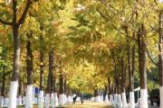2018年11月1日,江蘇南京濱江公園的銀杏樹叢(新華社)