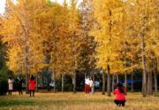 2018年11月9日,河北省石家莊市的河北經貿大學校園內的銀杏林(新華社)