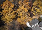 2018年11月1日,河南省西部山區的嵩縣白河鎮下寺村,銀杏樹林染成金黃。(新華社)