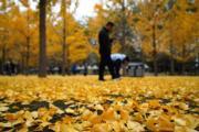2018年11月4日,北京奧林匹克公園內的銀杏樹(中新社)