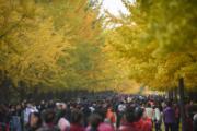 2018年10月21日,瀋陽農業大學的「銀杏路」(新華社)