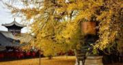 銀杏金黃滿目!西安觀音禪寺落葉如金氈 北京大覺寺賞「銀杏樹王」