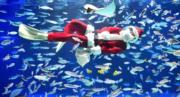 【世界各地迎聖誕2019】 日本東京水族館內,潛水員打扮成「聖誕老人」。(法新社)
