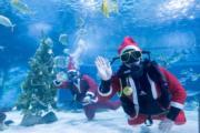 【世界各地迎聖誕2019】在匈牙利布達佩斯,潛水員打扮成「聖誕老人」裝飾聖誕樹。(新華社)