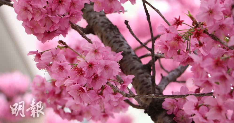 日本櫻花2020預測:日本3月下旬可賞櫻 東京料3月19日開花