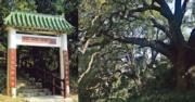 街知巷聞:禾徑山村 行樟樹群 敲叮噹石