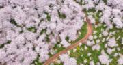 【世界各地賞櫻花】正值櫻花季節,貴州省貴安新區櫻花觀光園內櫻花盛開。(新華社)