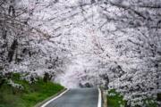 【世界各地賞櫻花】貴州:攝於2020年3月12日,貴州省貴安新區櫻花觀光園內櫻花(新華社)