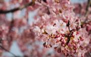 【世界各地賞櫻花】上海:攝於2020年2月24日,松江辰山植物園內櫻花(新華社)