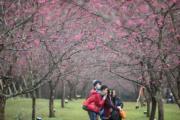 【世界各地賞櫻花】台灣南投日月潭:攝於2020年2月17日(新華社)