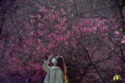 【世界各地賞櫻花】廣西南寧市:攝於2020年2月17日(中新社)
