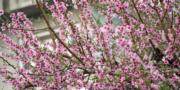 【世界各地賞櫻花】尼泊爾加德滿都:攝於2020年2月23日(新華社)