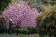 【世界各地賞櫻花】湖北:攝於2020年3月3日,武漢大學櫻花(新華社)