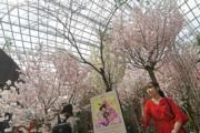 【世界各地賞櫻花】新加坡:攝於2020年3月12日,濱海灣花園櫻花(新華社)