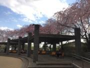 井之頭公園(黃廷希攝,圖片攝於2017年4月)