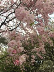 網編去過吉卜力美術館數次,其中一次是4月份,可順道在附近賞櫻花。(黃廷希攝,圖片攝於2017年4月)