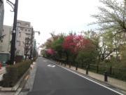 往三鷹車站方向走,道路兩旁種滿樹木,夏天也不覺炎熱。(黃廷希攝,圖片攝於2017年4月)