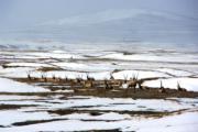 【世界自然遺產——中國】可可西里,圖為休息中的藏羚羊。(新華社)