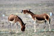 【世界自然遺產——中國】2017年6月30日在可可西里拍攝的藏野驢(新華社)