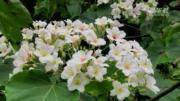 江西萬畝油桐花盛放 如「五月雪」披山頭【短片】