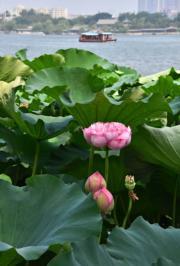 2018年8月3日,濟南市大明湖的荷花盛開,進入最佳觀賞期。(新華社)