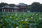 2018年7月27日,杭州西湖景區荷花盛開,進入最佳觀賞期。(新華社)