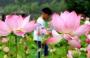 2018年7月12日,河南省欒川縣秋扒鄉荷花池,吸引眾多遊客。(新華社)