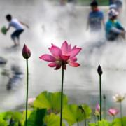 2018年7月1日,北京市望和公園(北園)荷花池旁開啟人工噴霧裝置,吸引人們納涼賞花。(新華社)