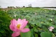 2018年7月2日,寧夏銀川鳴翠湖國家濕地公園(新華社)