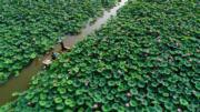 2018年7月12日,遊客在河北省灤南縣北河公園內乘船觀賞荷花。(新華社/無人機拍攝)