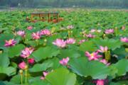 2018年7月12日,遊客在河北省灤南縣北河公園內乘船觀賞荷花。(新華社)