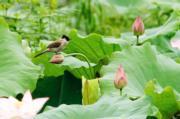 2018年6月,福建武夷山市五夫鎮荷塘裏的荷花含苞待放。(新華社)