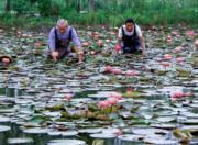 2018年6月,在湖州市長興縣呂山鄉聖蓮苑荷花基地,荷農挑選準備出售的觀賞性荷花。(新華社)