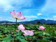 2017年7月,淅江省仙居縣白塔鎮東鮑村神仙居蓮荷文化園300多畝荷花盛放。(新華社)
